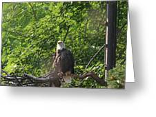 National Zoo - Bald Eagle - 12122 Greeting Card by DC Photographer