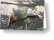 National Zoo - Kangaroo - 12126 Greeting Card by DC Photographer