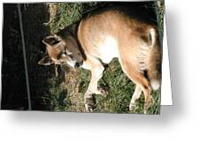 National Zoo - Mammal - 12124 Greeting Card by DC Photographer