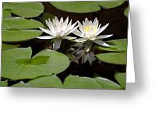 Nature's Snow White Water Lilies Greeting Card by Linda Phelps