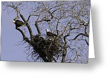Nesting Pair Of American Bald Eagles 1 Greeting Card by Thomas Young