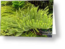 Norfolk  Island  Pine In California Greeting Card by  Bob and Nadine Johnston