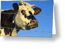 Normand Cow Greeting Card by Bernard Jaubert