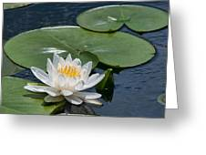 Nymphaea Odorata Ait.  American White Water-lily Greeting Card by Steven Yacuzzo