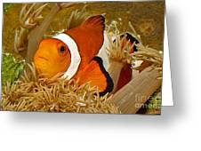 Ocellaris Clown Fish No 1 Greeting Card by Jerry Fornarotto