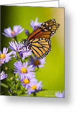Old Butterfly On Aster Flower Greeting Card by Richard J Thompson