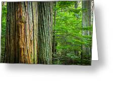 Old Growth Cedars Glacier National Park Painted Greeting Card by Rich Franco