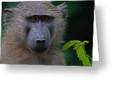 Olive Baboon Greeting Card by Stefan Carpenter