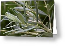 Olive Branch Greeting Card by Maria Bedacht