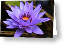 One Purple Water Lily Greeting Card by Carol Groenen