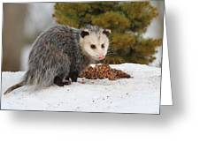 Opossum Greeting Card by Karol  Livote