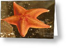 Orange Starfish In California Ocean Greeting Card by Artist and Photographer Laura Wrede