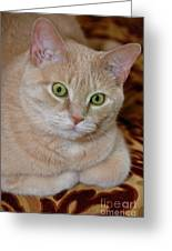Orange Tabby Cat Poses Royally Greeting Card by Amy Cicconi