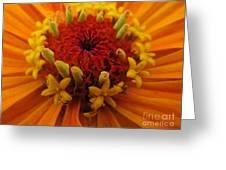 Orange Zinnia. Up Close And Personal Greeting Card by Ausra Paulauskaite