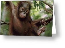 Orangutan Infant Hanging Borneo Greeting Card by Konrad Wothe