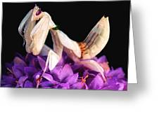 Orchid Female Mantis  Hymenopus Coronatus  7 Of 10 Greeting Card by Leslie Crotty