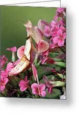 Orchid Mantid Hymenopus Coronatus Greeting Card by Robert Jensen