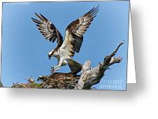 Osprey Mating Greeting Card by Barbara Bowen
