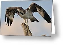 Osprey Scream Greeting Card by Angel Cher