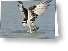 Osprey Taking Off Greeting Card by Bradford Martin