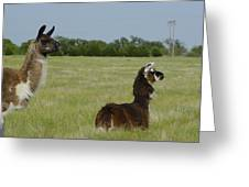 Pair Of Alpacas Greeting Card by Charles Beeler