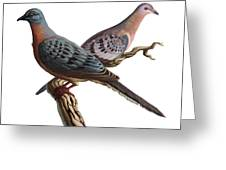 Passenger Pigeon  Greeting Card by Spencer Sutton