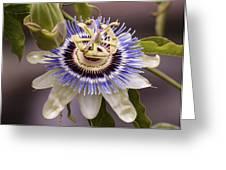 Passiflora Caerulea Greeting Card by Caitlyn  Grasso