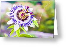 Passiflora Or Passion Flower Greeting Card by Semmick Photo