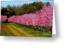 Peach Orchard In Carolina Greeting Card by Lydia Holly