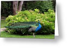 Peacock In Austin Garden Greeting Card by Linda Phelps