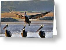 Pelican Coming In For Landing Greeting Card by Dan Friend