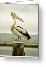 Pelican Poise Greeting Card by Holly Kempe