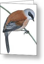 Penduline Tit  Greeting Card by Anonymous