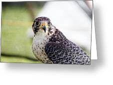 Peregrine Falcon Bird Of Prey Greeting Card by Eleanor Abramson