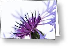 Perennial Cornflower Greeting Card by Anne Gilbert
