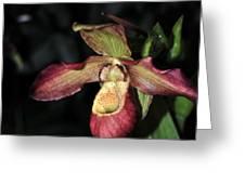 Phragmipedium Noirmont Greeting Card by Terri Winkler