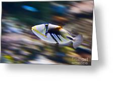 Picasso - Lagoon Triggerfish Rhinecanthus Aculeatus Greeting Card by Jamie Pham