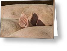 Piglets Napping 2 Greeting Card by Odd Jeppesen