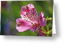 Pink Alstroemeria Flower Greeting Card by Rona Black