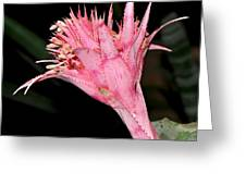 Pink Bromeliad Bloom - Close Up Greeting Card by Kaye Menner
