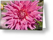 Pink Dahlia II Greeting Card by Peter French