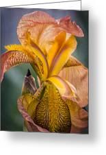 Pink Iris Greeting Card by Eduard Moldoveanu