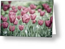 Pink Tulip Field Greeting Card by Frank Tschakert