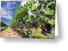 Pinot Noir Grapes In Niagara Greeting Card by Charline Xia