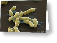 Plague Bacteria Yersinia Pestis Sem Greeting Card by Eye of Science