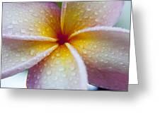 Plumeria Dew Greeting Card by Sean Davey