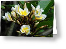Plumeria or Frangipani Flowers in Goma DRC Congo Africa Greeting Card by Robert Ford