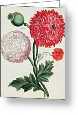 Poppy Greeting Card by Basilius Besler