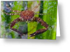 Porcelain Crab On Neptune Grass Greeting Card by Science Photo Library