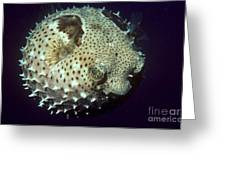 Porcupinefish Greeting Card by Gregory G. Dimijian